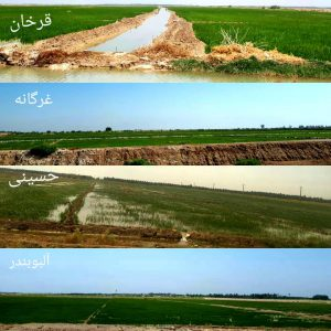 ۶ هزار هکتار از اراضی شادگان زیرکشت برنج عنبربو رفته است
